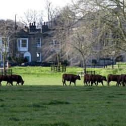 Cows in Cambridge